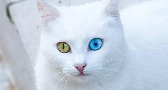 Gatos de Van salvos da extinção