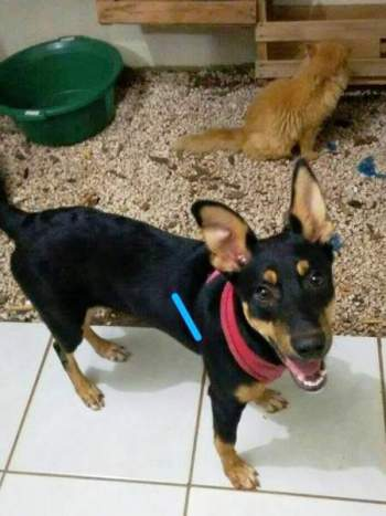 ninha-turquinha-cachorra-cadela-turquia-brasil-ruas-adotada-gato