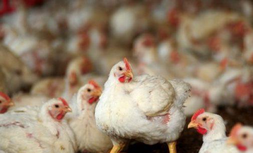 BRF compra Banvit, maior produtora de aves da Turquia