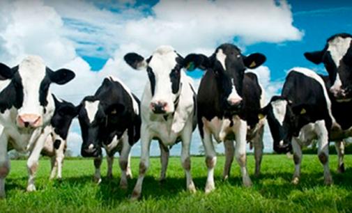 """Associação turca """"deporta"""" 40 vacas holandesas em retaliação"""