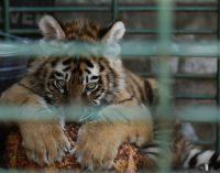 Animais resgatados de zoológico de Aleppo receberão cuidados na Turquia