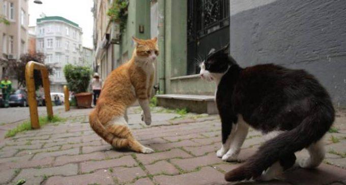 Por que uma cineasta fez um filme sobre os gatos de Istambul