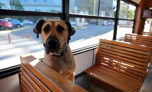 O melhor amigo dos passageiros: Boji, o cão, torna-se uma celebridade na Turquia